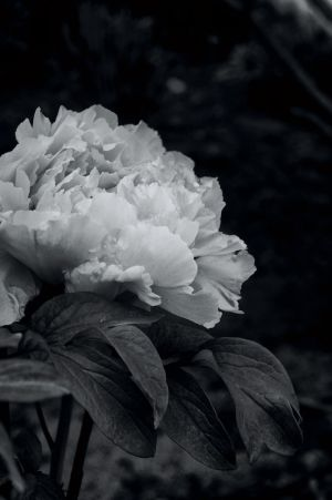 peonies on trestle glen  9211.jpg