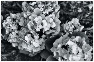 HydrangeaLove.jpg